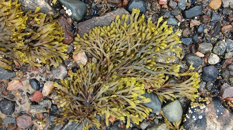 Alga Fucus