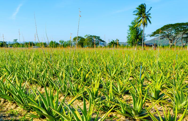 Aloe pianta medicinale