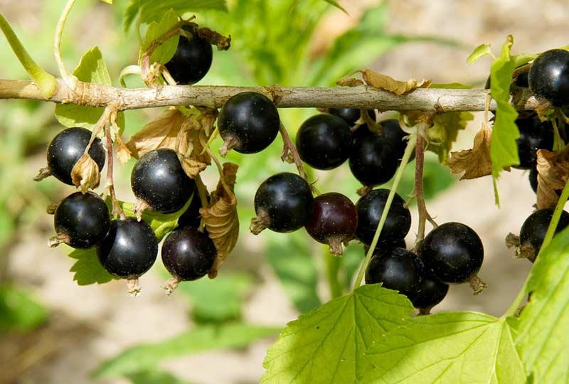 Ribes nero benefici proprietà