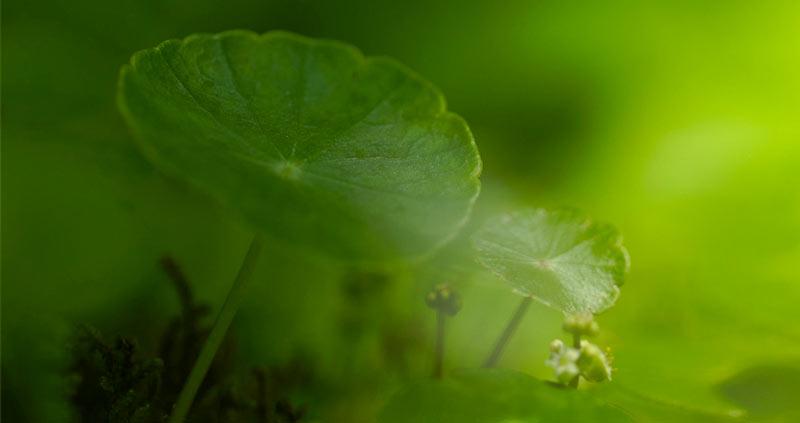 Pianta Centella Asiatica