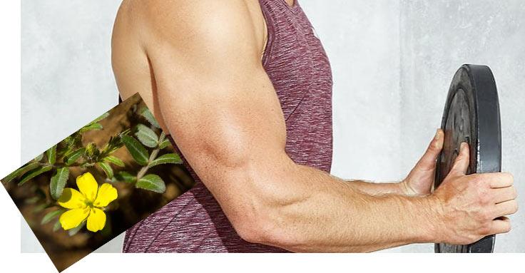Tribulus terrestris per la massa muscolare